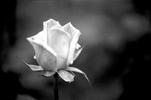 negro-y-rosa-blanca_2209975